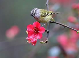 一组活泼可爱的柳莺图片