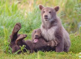 俄罗斯熊宝宝打架图片欣赏