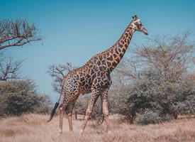 一组唯美清新的长颈鹿图片欣赏