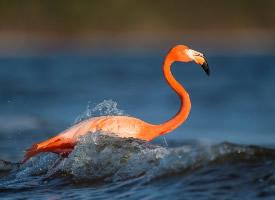 水里戏耍的火烈鸟
