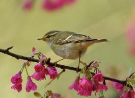 一组娇小玲珑的柳莺图片