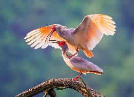 朱鹮也可以称作为红朱鹭