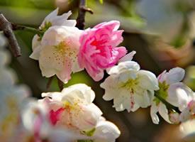 花开正盛的海棠花开图片