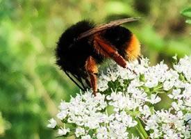 发现一只蜜蜂界的大胖子