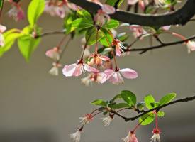 随风起舞的粉色樱花图片