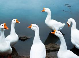 一组可爱呆萌的白鹅图片欣赏