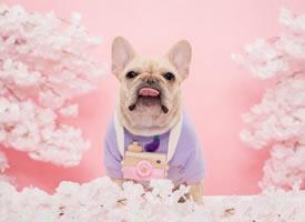 粉色背景下可爱的法斗图片