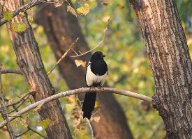 东北亚种野生喜鹊图片