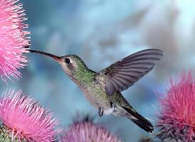羽毛艳丽极美的蜂鸟图片