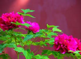 一组花开艳丽的景山牡丹图片