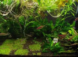 游来游去的宝莲灯鱼图片