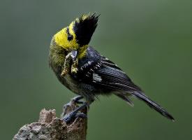 穿梭在枝叶间的黄颊山雀图片
