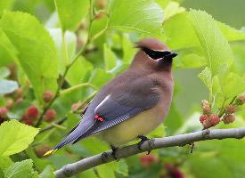 羽毛丰翼的太平鸟图片