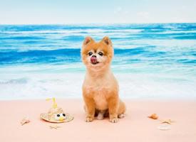 沙滩上可爱的博美狗狗图片