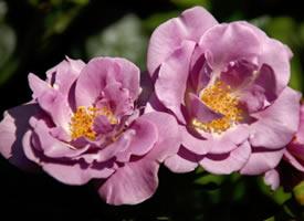 一组美丽绽放的蔷薇花图片