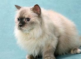惹人喜爱的伯曼猫图片