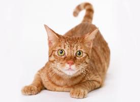 一组橘色的中华田园猫图片