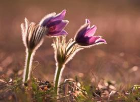 春归大地的白头翁图片欣赏