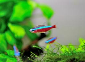 非常美丽的宝莲灯鱼图片