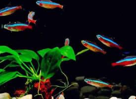 一组珍贵的宝莲灯鱼图片