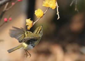 机灵可爱的柳莺图片