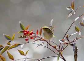 一组小巧惹人爱的柳莺图片