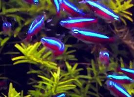 自由自在的宝莲灯鱼图片