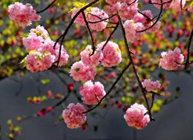 一组唯美大朵大朵的樱花图片
