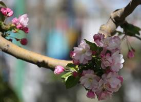 一组粉嫩好看的海棠花图片