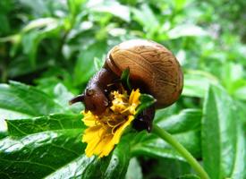 春雨过后出现的野生蜗牛生态动物图片