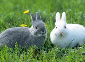 一组迷你力斯兔图片欣赏
