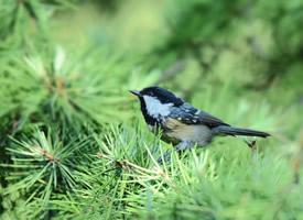 一组鸟类煤山雀图片
