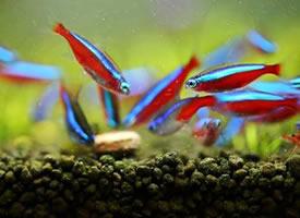 喜欢群游的宝莲灯鱼图片