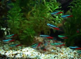 像彩虹一样美丽的宝莲灯鱼图片