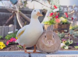 一组小兔子和小鸭子出行记