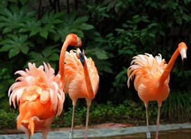 火红色的火烈鸟图片