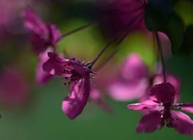 一组超唯美的海棠花图片欣赏