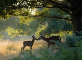 一组森林里唯美的小鹿图片
