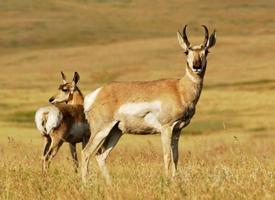 """藏羚羊被誉为""""高原精灵"""