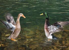 水中嬉戏的小鸭子图片