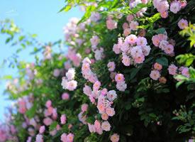 一组满架蔷薇一院香