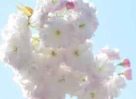 一组花团锦簇的樱花图片欣赏