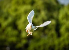 飞起来可爱的小鸭子图片