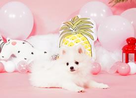 一组白白萌萌的博美狗狗图片