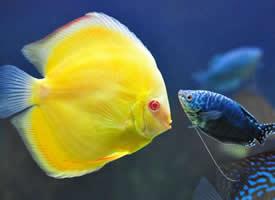 美丽的七彩神仙鱼图片