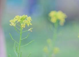 一组唯美的田埂里油菜花图片