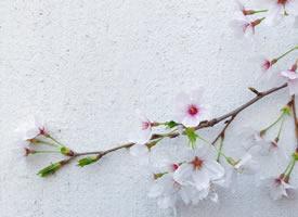 春意满满的樱花图片欣赏