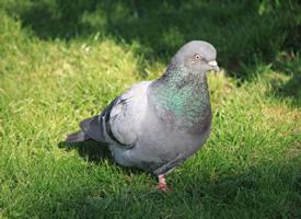 小巧可爱的鸽子实拍图片