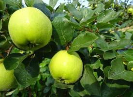 酸酸甜甜的青苹果图片