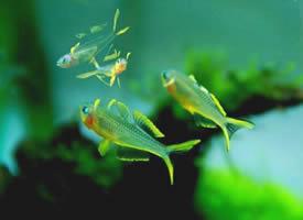 性格温和的霓虹燕子鱼图片